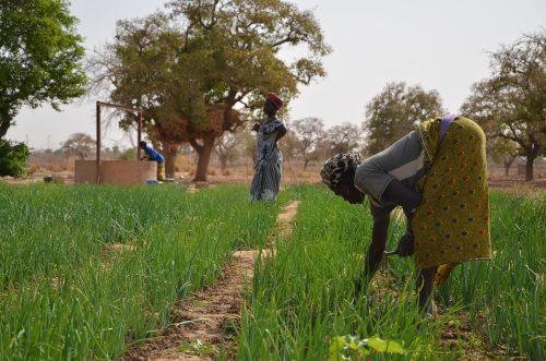 Femme cueillant des oignons dans un champ